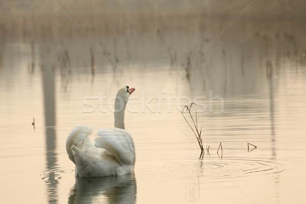 Gyönyörű hattyú hajnal magányos megvilágított emelkedő Stock fotó © nature78