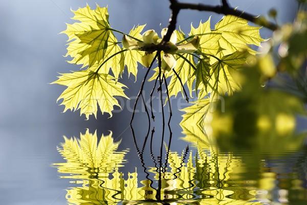 Printemps érable laisse nature feuille Photo stock © nature78