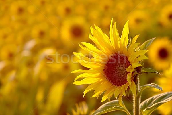 подсолнечника солнце закат фон жизни Сток-фото © nature78