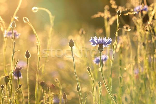 Cornflower at dusk Stock photo © nature78