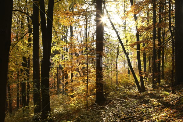 Autumn scenery in the beech forest Stock photo © nature78