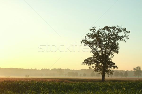 Solitaire arbre aube maïs domaine Photo stock © nature78