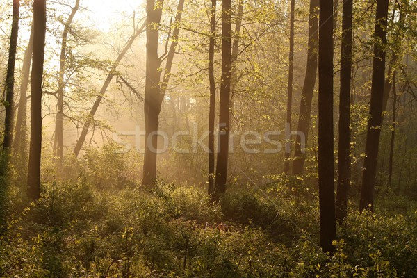 Misty spring forest at dawn Stock photo © nature78