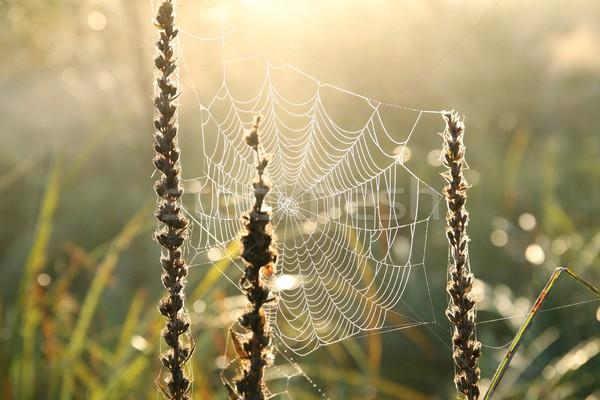 Cobweb at dawn Stock photo © nature78