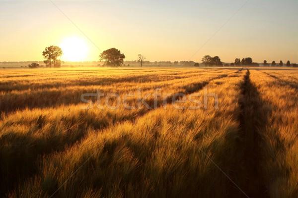 Nascer do sol campo sol grão sem nuvens Foto stock © nature78