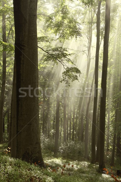 Très tôt automne forêt soleil matin lumière du soleil Photo stock © nature78