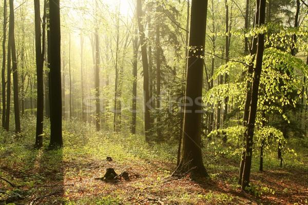 Stock fotó: Tavasz · erdő · napsütés · fenséges · természet · tartalék