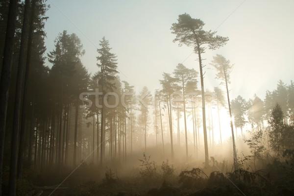 Ködös tűlevelű erdő hajnal sűrű köd Stock fotó © nature78