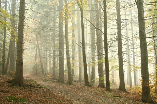 Path in misty autumn forest Stock photo © nature78