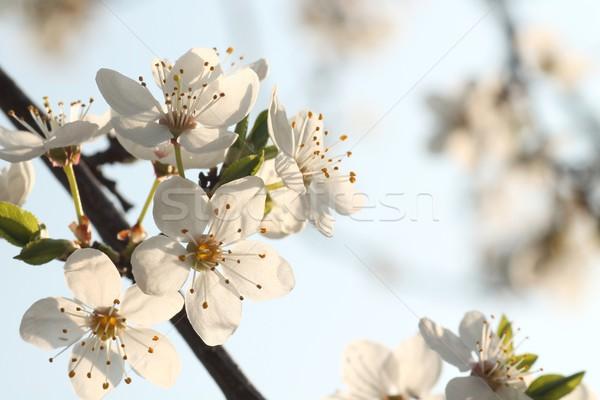 Fehér virágok ág gyümölcsfa fa gyümölcs szépség Stock fotó © nature78