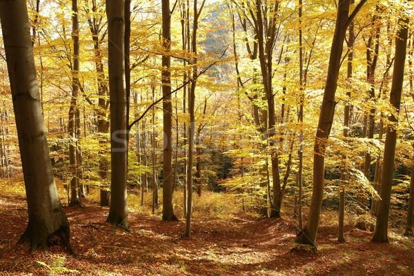 Forestales manana sol hoja árboles Foto stock © nature78