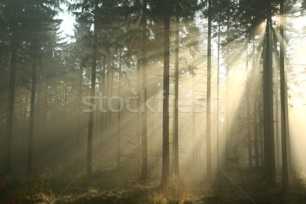 Autumn coniferous forest Stock photo © nature78