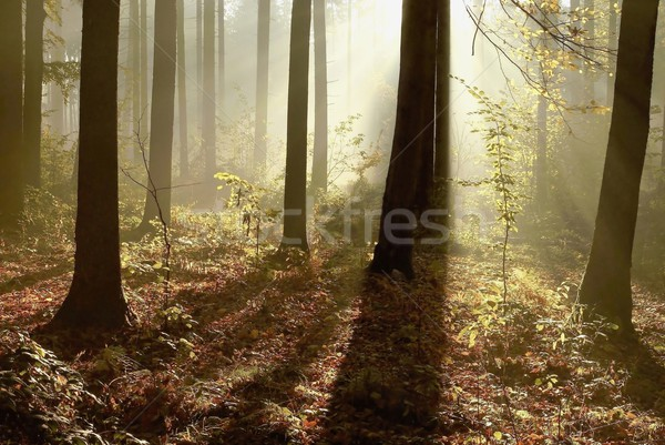 Misty autumn forest in the morning Stock photo © nature78