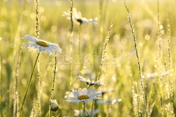Daisy луговой богатых цветы рассвета весны Сток-фото © nature78