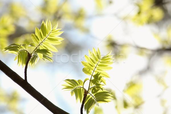 Laisse printemps ciel bleu nature feuille Photo stock © nature78