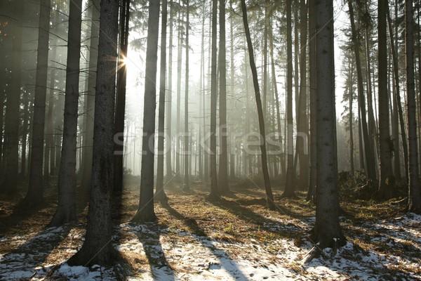 Сток-фото: лес · зима · утра · солнце · туманный