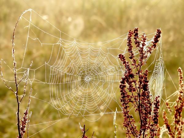 Teia da aranha prado nebuloso manhã grama Foto stock © nature78