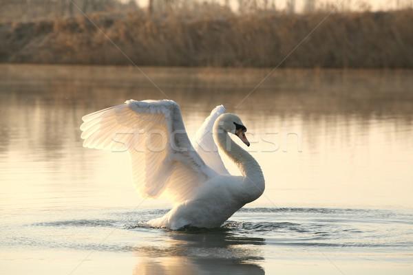 лебедя озеро крыльями Солнечный утра красоту Сток-фото © nature78
