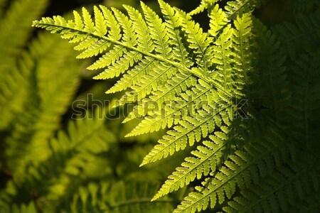 Closeup of fern Stock photo © nature78