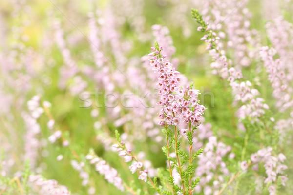 Púrpura forestales resumen jardín otono color Foto stock © nature78