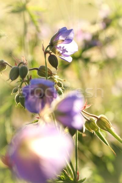 Hajnal sok virágok tavasz természet szépség Stock fotó © nature78
