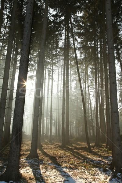 Tűlevelű erdő tél reggel nap ködös Stock fotó © nature78
