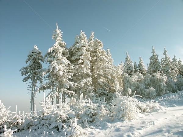 зима соснового деревья гор мороз покрытый Сток-фото © nature78