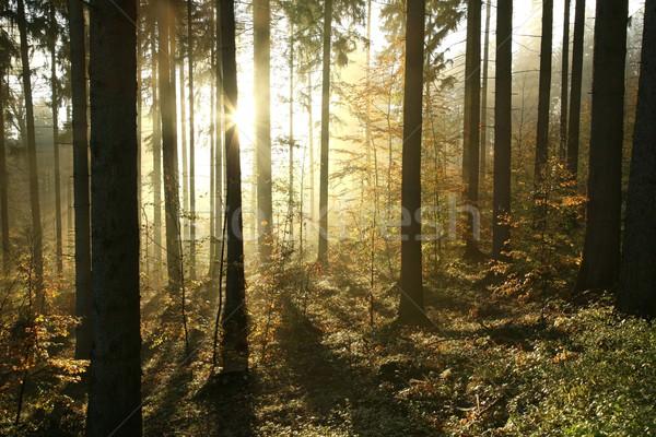 ősz tűlevelű erdő ködös reggel nap Stock fotó © nature78