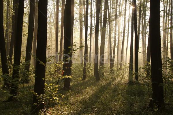 туманный весны лес рассвета солнечный свет пышный Сток-фото © nature78