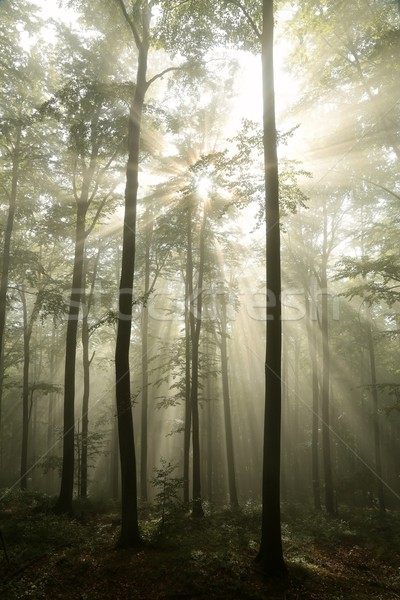 Orman güneş sis yağış miktarı manzara yaprak Stok fotoğraf © nature78