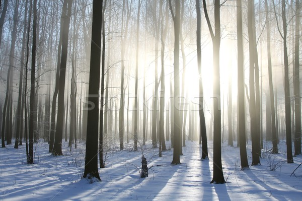 Foggy winter forest at sunrise Stock photo © nature78