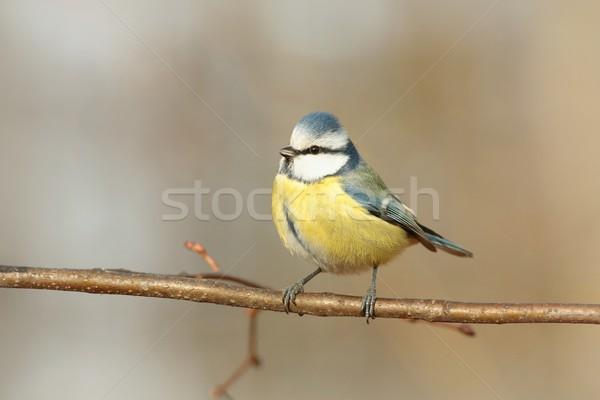Blue tit Stock photo © nature78