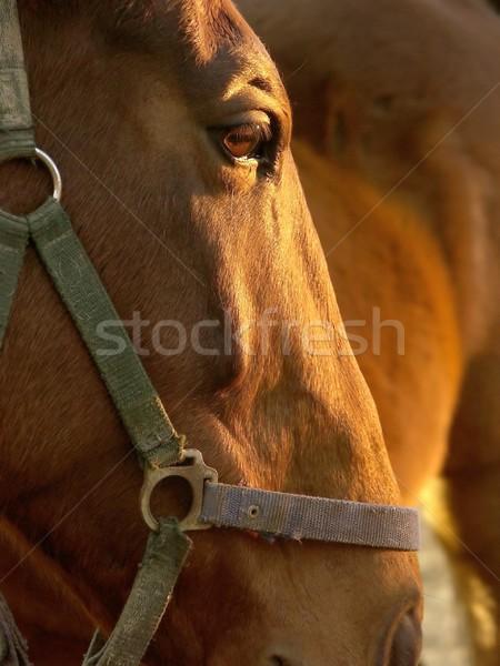 Horse at dusk Stock photo © nature78