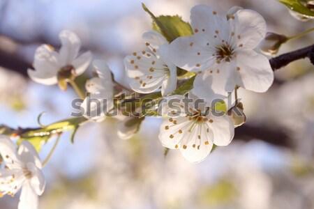 Közelkép tavaszi virágok fehér virágok ág gyümölcsfa fa Stock fotó © nature78