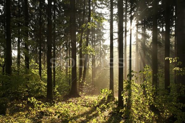 Stock fotó: Tűlevelű · erdő · ködös · reggel · emelkedő · nap