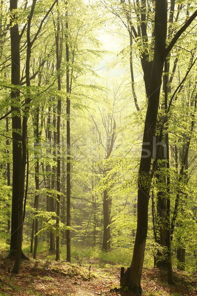 Spring beech forest in the sunshine Stock photo © nature78