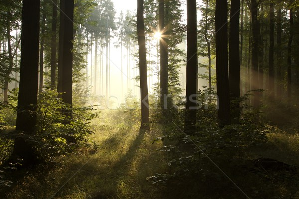 Deciduous forest in the sunshine Stock photo © nature78
