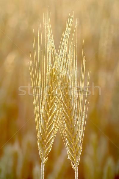 Primer plano oído campo de trigo manana sol primavera Foto stock © nature78