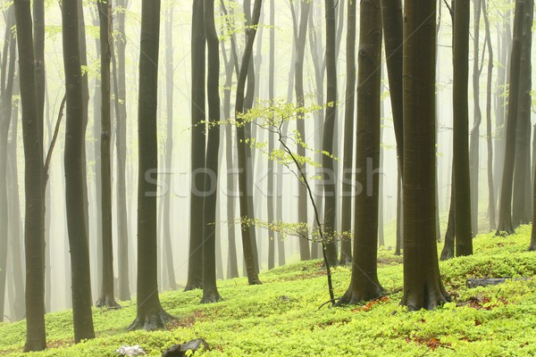 Spring beech forest in the fog Stock photo © nature78