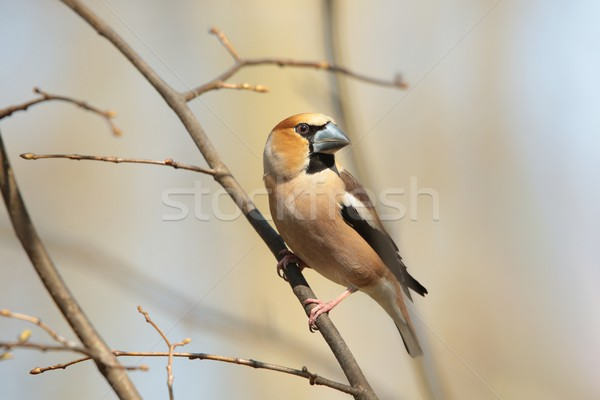 Male Hawfinch Stock photo © nature78
