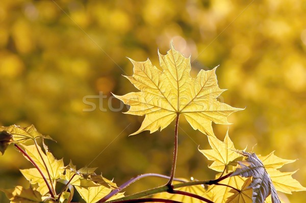 Spring maple leaves Stock photo © nature78