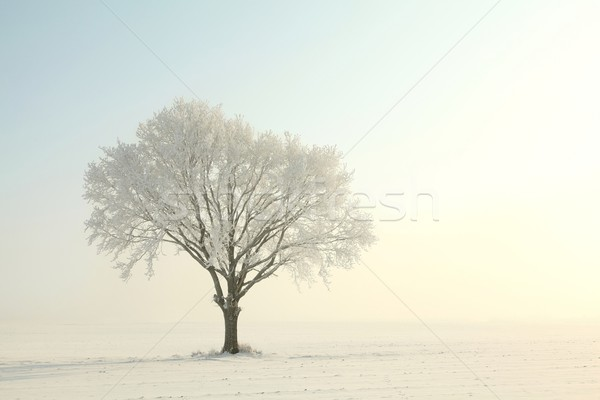 Oak tree on a sunny winter morning Stock photo © nature78