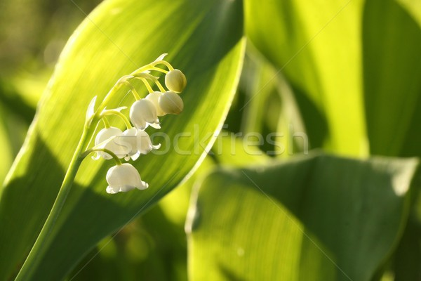 Lily of the valley Stock photo © nature78