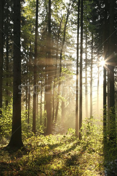 Photo stock: Forêt · brumeux · matin · soleil