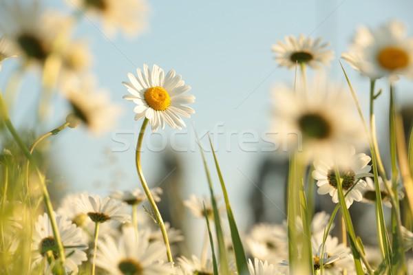 Daisy луговой богатых цветы рассвета цветок Сток-фото © nature78
