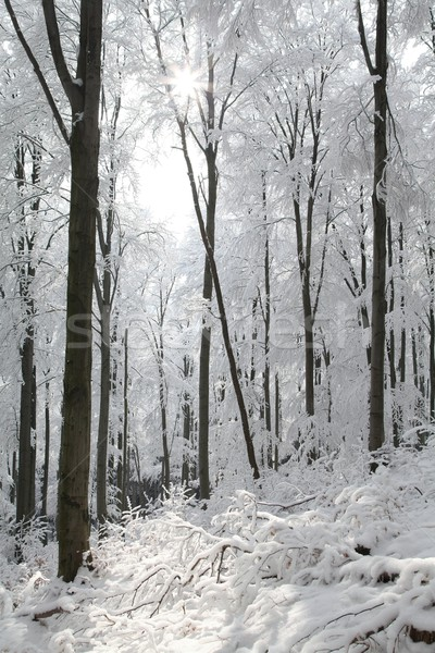 Beech forest on frosty winter day Stock photo © nature78