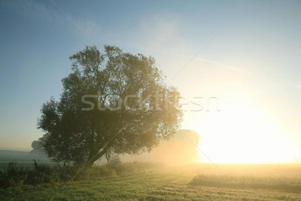 Willow tree at dawn Stock photo © nature78