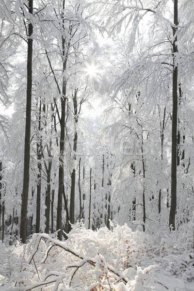 Winter beech forest Stock photo © nature78