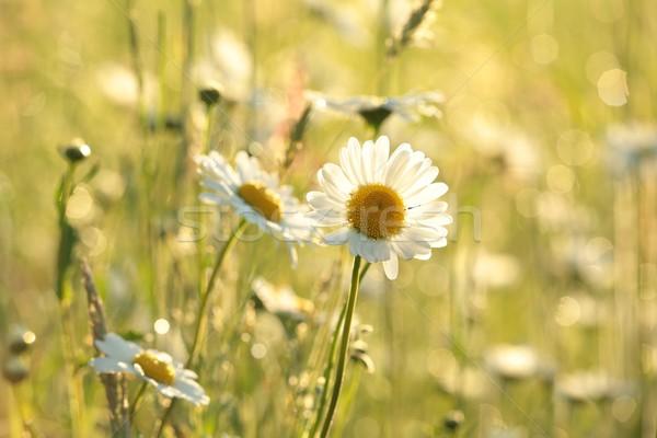 Daisy weide rijke bloemen dawn bloem Stockfoto © nature78