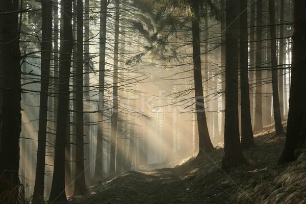 út tűlevelű erdő hajnal sűrű köd Stock fotó © nature78